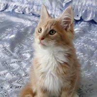 Котенок мейн куна. :: Елена Шемякина