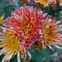 Последние хризантемы. :: Чария Зоя
