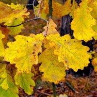 Дубовые листья в октябре :: Милешкин Владимир Алексеевич