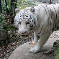 белый бенгальский тигр :: elena manas