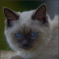 Портрет Блондина с голубыми газами-из серии Кошки очарование мое! :: Shmual Hava Retro