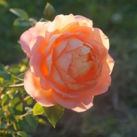 Моя новая роза :: Вера