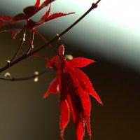 Красный листик :: Anna S.