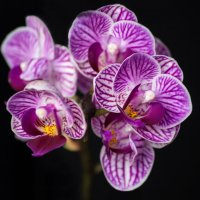 Орхидея фаленопсис мини :: Ирина Приходько