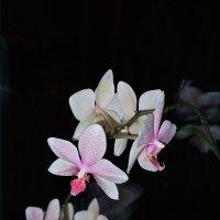 Орхидея на чёрном. :: Андрий Майковский