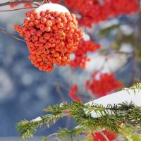 Рябина и первый снег. :: Volkov Igor