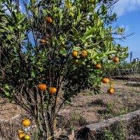 мандариновое дерево :: Александр