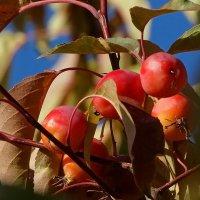 Райские яблоки :: Владимир Бровко