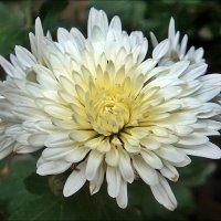 В нашем дворе - пора цветения хризантем! :: Нина Корешкова