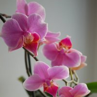 Орхидея :: Анастасия Стрелкова
