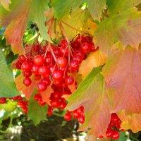 Осенние краски калины :: Стас Борискин