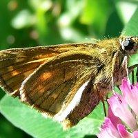 Бабочка толстоголовка. :: Наталья