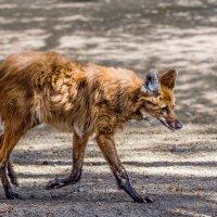 Гривистый волк :: Nn semonov_nn