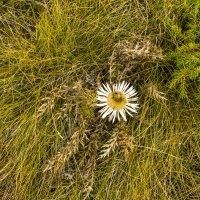 Альпийский цветок :: Marina Talberga