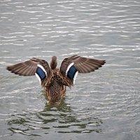 Тренировка крыльев к перелету :: Татьяна Симонова