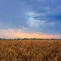 Хлебное поле :: юрий Амосов