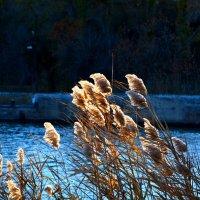 Метёлки рогозы,тронутые лучом уходящего солнца. :: Aлександр **