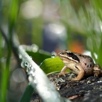 Лесная  лягушка :: Геннадий Супрун