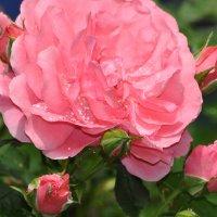 розы :: Вера Петрив