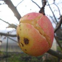 Яблочко треснуло от мороза... :: BoxerMak Mak