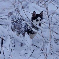 Снежный зверь :: Кристина Воробьева