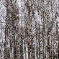 Осенние березы :: Валюша Черкасова