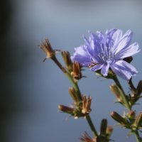 Цикорий цветет :: Елена Паламарчук