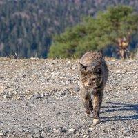 Кошка горная... ничейная...голодная... :: Юлия Бабитко