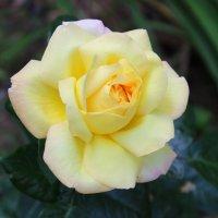 Желтая красавица :: Светлана