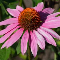 Цветы в нашем саду (этюд 18) :: Константин Жирнов