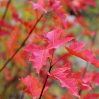 Красные листья осени :: Светлана