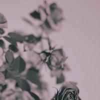 Rose 1 :: Александрр Petrov