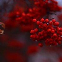 Какая осень без рябины?) :: Екатерина Марфута