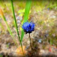 одинокий полевой цветок :: Александр Прокудин