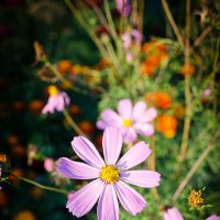 Осенний цветок :: Елена Брыкова