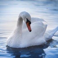 А белый лебедь на пруду.... :: Taigen Rokhman
