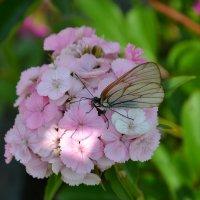 Бабочка :: Дарья Кириллова