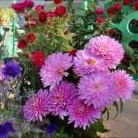Хризантемы и сентябринки из нашего двора :: Нина Корешкова