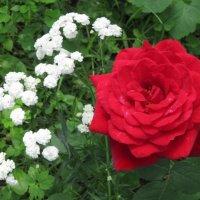 Роза красная моя :: Дмитрий Никитин