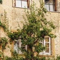 Грушевое дерево :: Надежда Лаптева