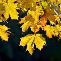 Желтые листья :: Дмитрий С.