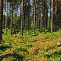 Утро в сосновом лесу. Практически. :: Юрий Воронов