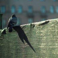 Голубь :: Игорь Герман