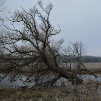 Дерево у пруда :: Сергей Щеглов