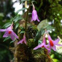 Миниатюрная орхидея :: Елена Павлова (Смолова)