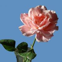 Последняя роза 2015 :: Gudret Aghayev