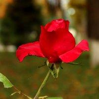 Роза в ноябре :: Светлана
