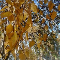 Шелест берёзовых листьев... :: Нина Корешкова