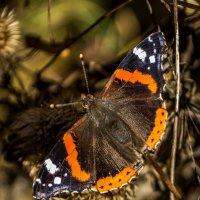 Бабочка :: Александр Хорошилов