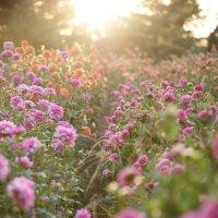 Пчелиная мечта :: Anna Shevtsova